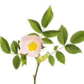 El jabón de rosa cuida por dentro y por fuera, lo que satisface la demanda de belleza relajante