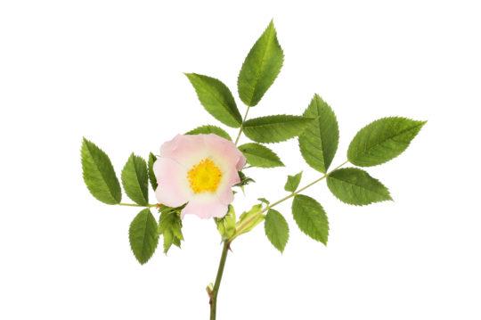 rose soap benefits