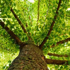 Los productos botánicos perfectos para los consumidores sanos y sensibilizados con la naturaleza: el ginkgo biloba